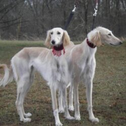 saluki-dogs-wallpaper