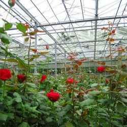 Poly-House-Green-House-Rose-cultivation